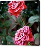 Frosty Rose Acrylic Print