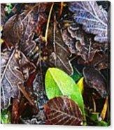 Frozen Oak Leaves, Glenveagh National Acrylic Print