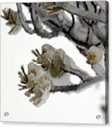 Frozen Pines 1 Acrylic Print