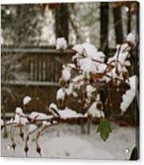 Frozen Rose Hips Acrylic Print