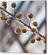 Frozen Seed Capsules In Time Acrylic Print