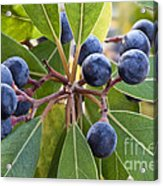 Fruit And Leaves Of The Red Bay Acrylic Print