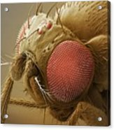 Fruit Fly Head, Sem Acrylic Print by Power And Syred