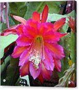 Fuchia Cactus Flower Acrylic Print