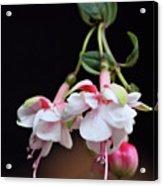 Fuchsia 2 Acrylic Print