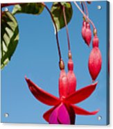 Fuchsia At Pilgrim Place In Claremont-california Acrylic Print