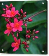 Jatrohpa Bush Blooms Acrylic Print