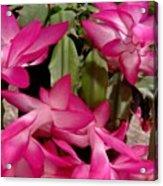 Fuchsia Christmas Cactus Acrylic Print