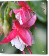 Fuchsia Acrylic Print