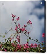 Fuchsia Mexican Coral Vine On White Clouds Acrylic Print