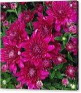 Fuchsia Mums Acrylic Print