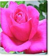 Fuchsia Rose Acrylic Print