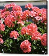 Full Bloom Geraniums  Acrylic Print