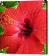 Full Bloom In Red Acrylic Print