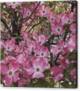Full Bloom Acrylic Print
