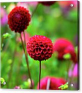Full Bloom Reds Acrylic Print