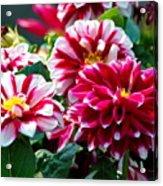 Full Blooms Acrylic Print