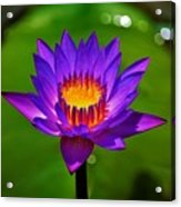 Full Blossom  Acrylic Print