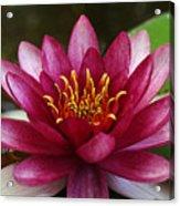 Full Lotus Acrylic Print