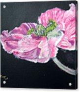 Fully Open Poppy Acrylic Print