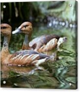 Fulvous Whistling Duck Acrylic Print