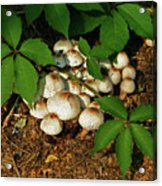 Fungal Appeal Acrylic Print