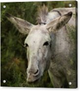 Funky Donkey Acrylic Print