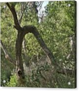 Funky Tree On Trail In Peters Canyon Acrylic Print