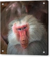 Funny Baboon Acrylic Print