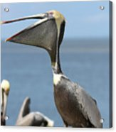Funny Brown Pelican Acrylic Print