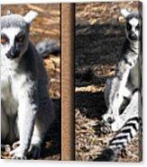 Funny Lemurs Acrylic Print
