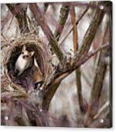Funny Little Bird Acrylic Print
