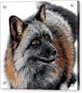 Funny Little Furry Face Acrylic Print