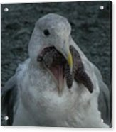 Funny Seagull With Starfish Acrylic Print