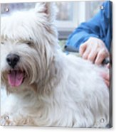 Funny View Of The Trimming Of West Highland White Terrier Dog Acrylic Print
