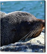 Fur Seal Acrylic Print