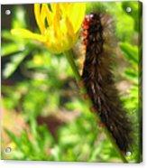 Furry Caterpillar On A Yellow Flower Acrylic Print