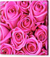 Fuschia Colored Roses Acrylic Print
