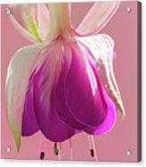 Fuschia Petals Acrylic Print