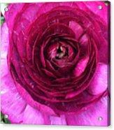 Fuschia Ranunculus Acrylic Print