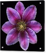 Fuscia Clematis Acrylic Print