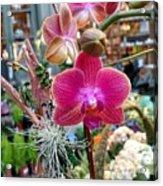 Fushia Orchid Acrylic Print