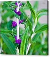Salvia At Pilgrim Place In Claremont-california  Acrylic Print