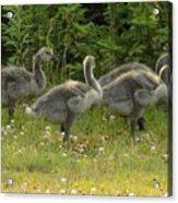 Fuzzy Fowlings Acrylic Print