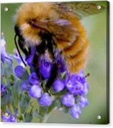 Fuzzy Honey Bee Acrylic Print
