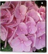Fwc Beautiful Pink Hydrangea Acrylic Print