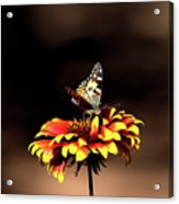 Gaillardia And Butterfly Acrylic Print