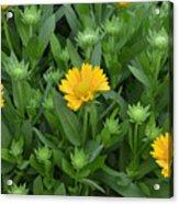 Gaillardia Arizona Apricot Acrylic Print