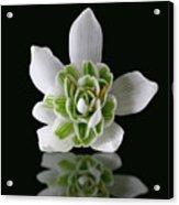 Galanthus Nivalis Flore Pleno Acrylic Print