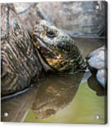 Galapagos Giant Tortoise In Pond Amongst Others Acrylic Print